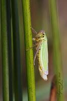 Méregzöld kabóca (Cicadella viridis)