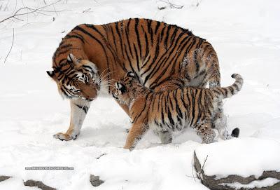 Animales - Tigres - Papá Tigre - Felinos