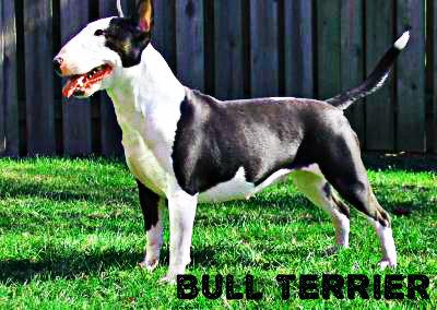 Bull terrier chien de garde