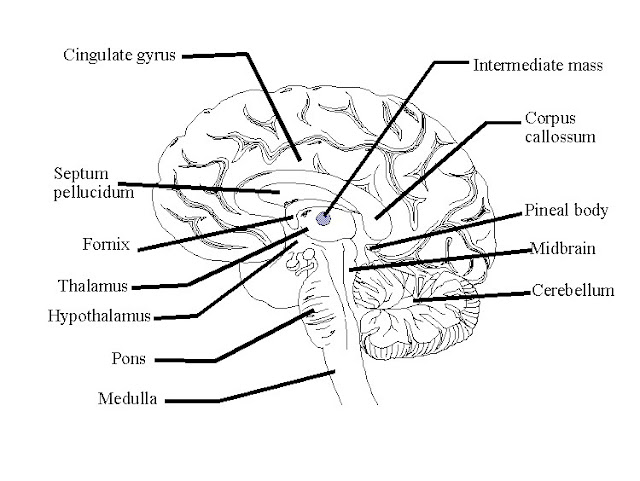Brain Functions Diagram5