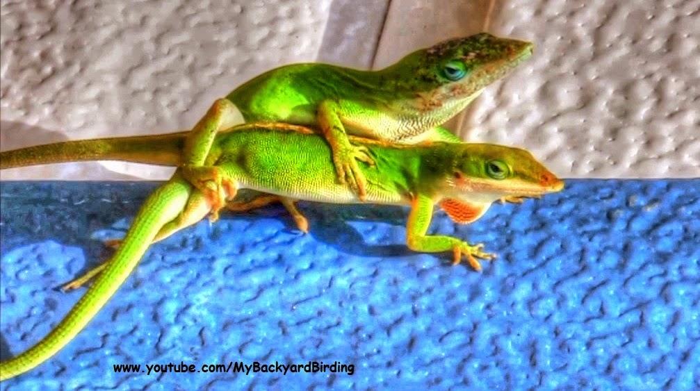 Green Anole Lizard (Anolis Carolinensis) Mating