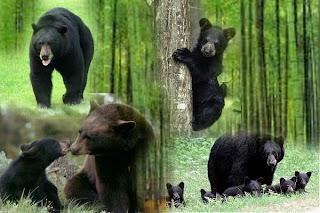 Kumpulan_gambar_beruang_hitam