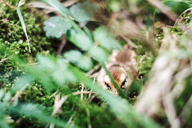Perdrix grise grey partridge Rebhuhn potarniche potârniche Romania sălbăticie environment protecția natură sălbatică Transylvania Wild Carpathia