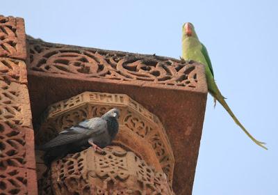 голубь и попугай