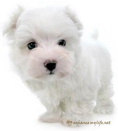 Cutewhitepuppies Wallpaper on Funny Wallpapers Hd Wallpapers  Cute Dog Pictures