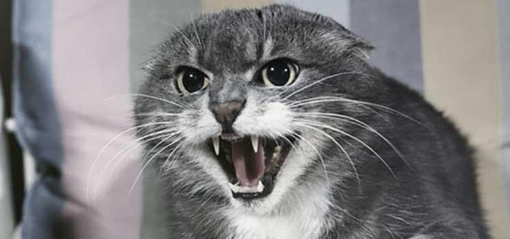 Kucing sedang marah dan jengkel