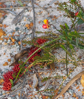 Murchison Darwinia (Darwinia virescens)