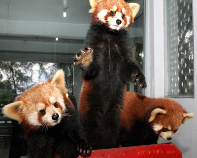 red-panda-pet-picture