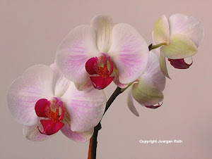 Photo Art Promotion: White Orchid