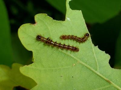 Hylesia praeda caterpillar