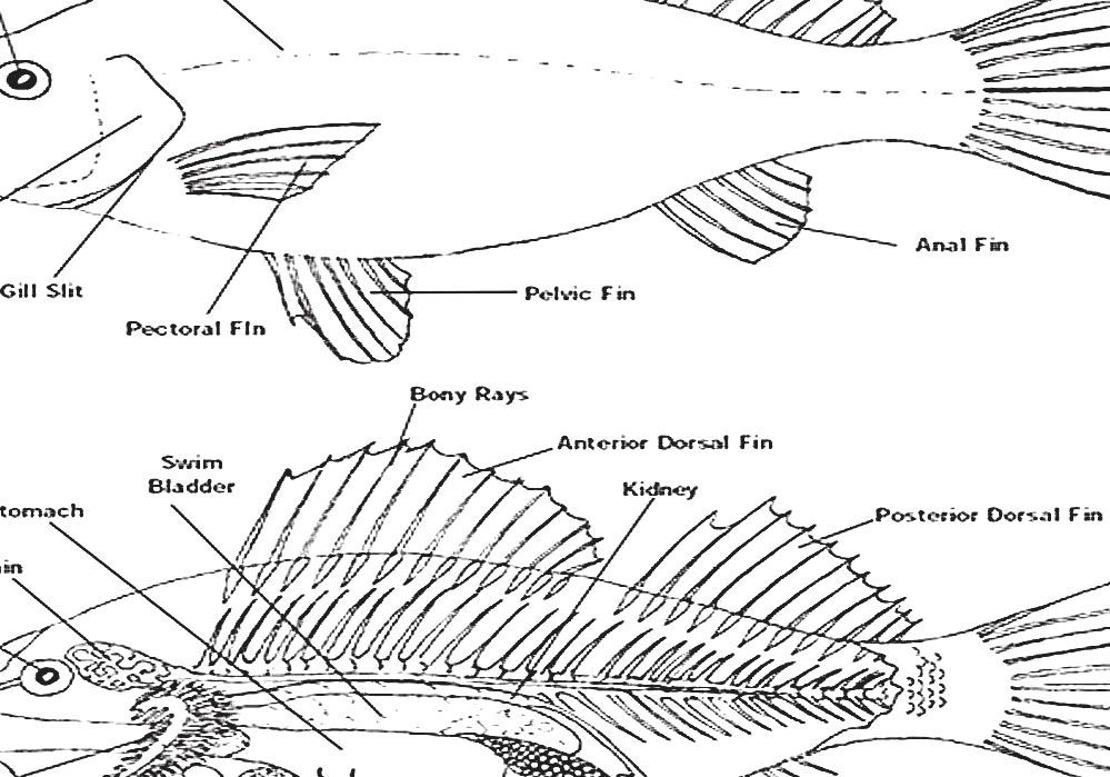 Fish Anatomy - Fish Fins
