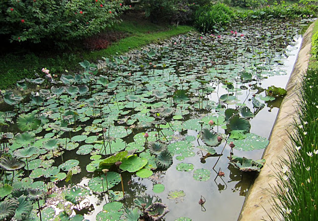 lotus flower bed on water canal