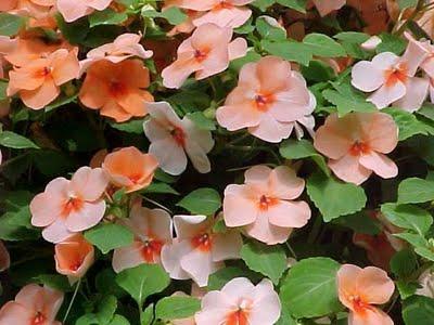 Expresi n imagen y color alegr a del hogar regalo de la naturaleza - Planta alegria del hogar ...