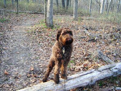 Alfie on a woodsy path; he's putting his muddy front paws up on a log that's fallen across the path