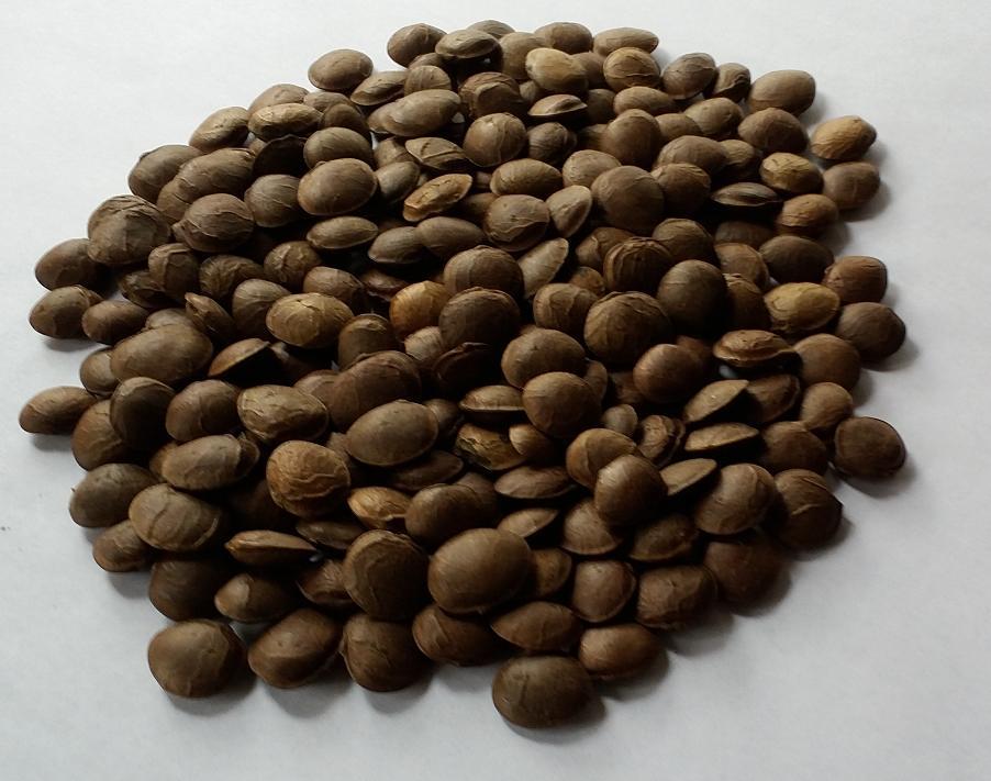 Cultivo del Maní Sacha Inchi