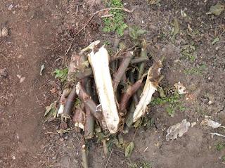стебли клещевины
