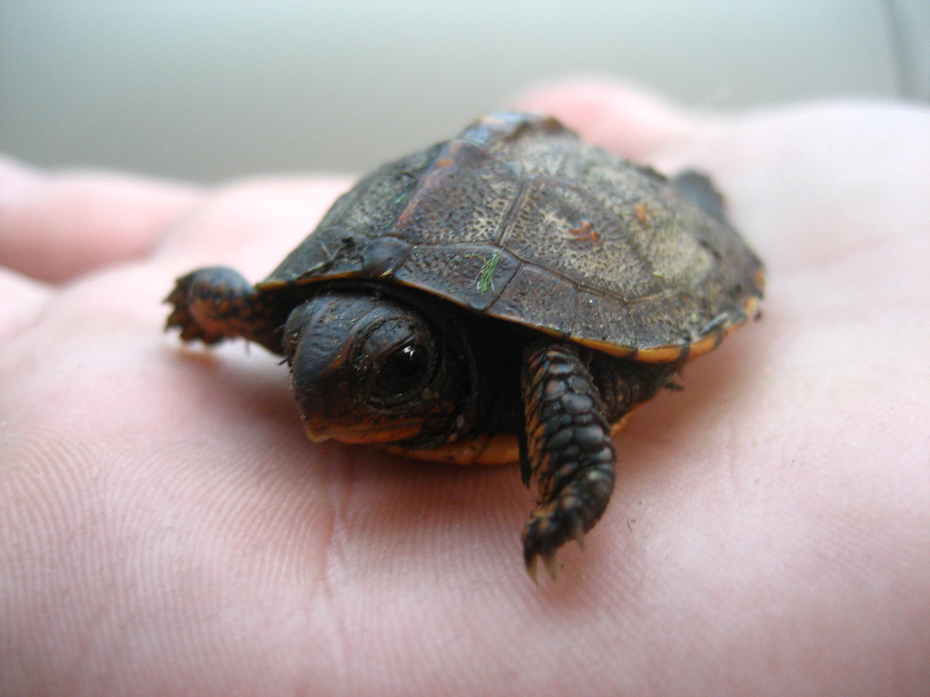 baby turtle picture