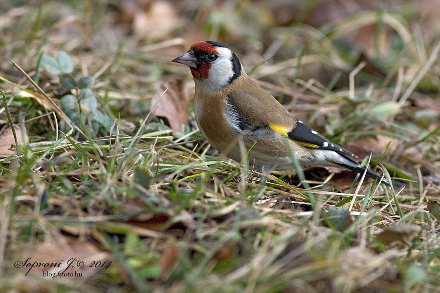 Tengelic - European Goldfinch - Stieglitz - Carduelis carduelis