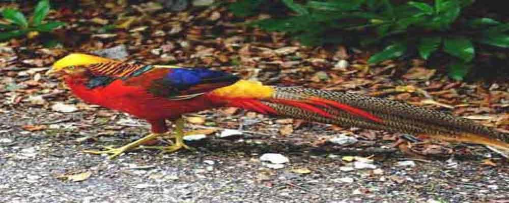 chim trĩ , bán chim tri giống , trỉ thịt , cung cấp chim trĩ giá rẻ công đỏ trỉ xanh mua 7 bảy màu