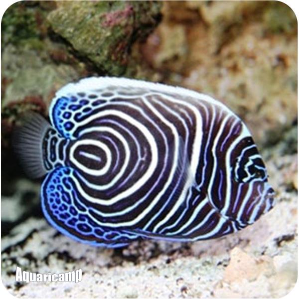 Jjs peixes ornamentais peixes marinhos for Fish representative species