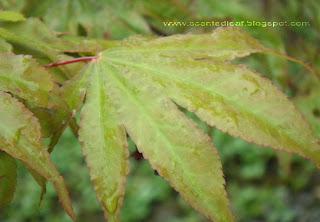 Acer Palmatum Katsura leaf in spring
