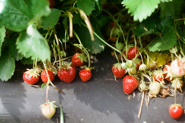 Strawberries On The Vine