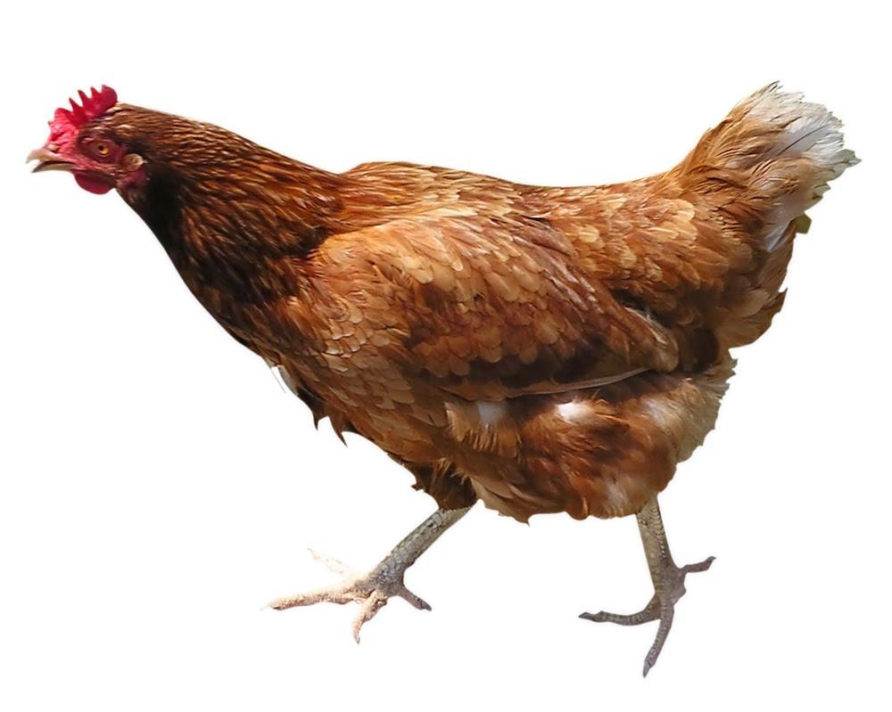 Chicken Animal