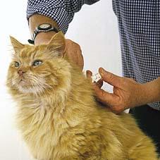 Tiêm phòng bằng vaccine- Biện pháp hữu hiệu, chủ động tạo miễn dịch cho mèo.