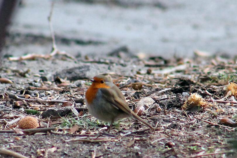 robin pitroig petirrojo montseny bird ocell pajaro