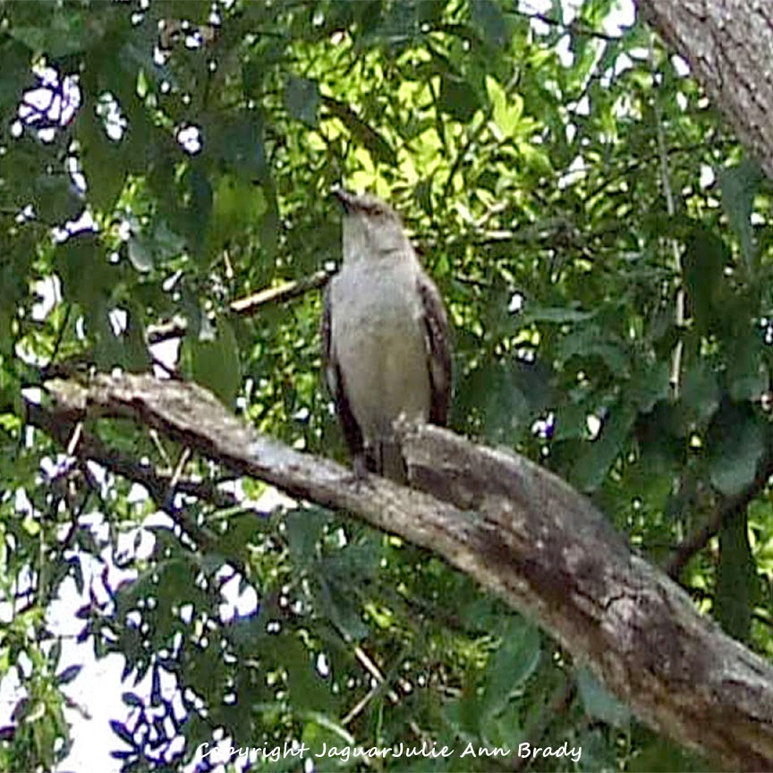 Adult Mockingbird Protective Behavior 5