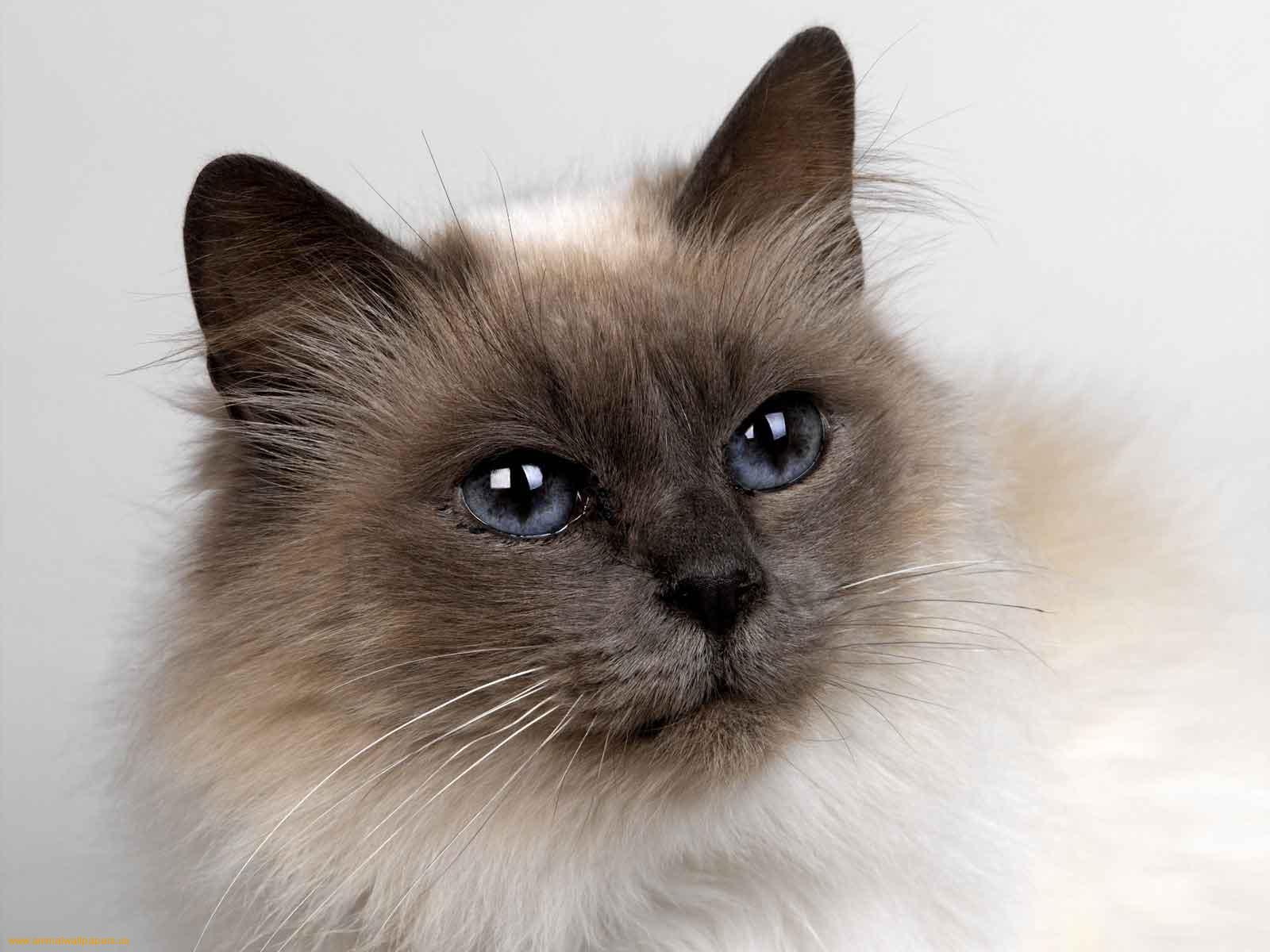 Homes wanted for Siamese cats  UKSiamese cat Rescue