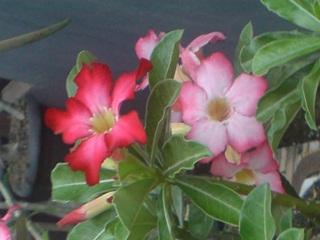 Bunga Adenium Obesum