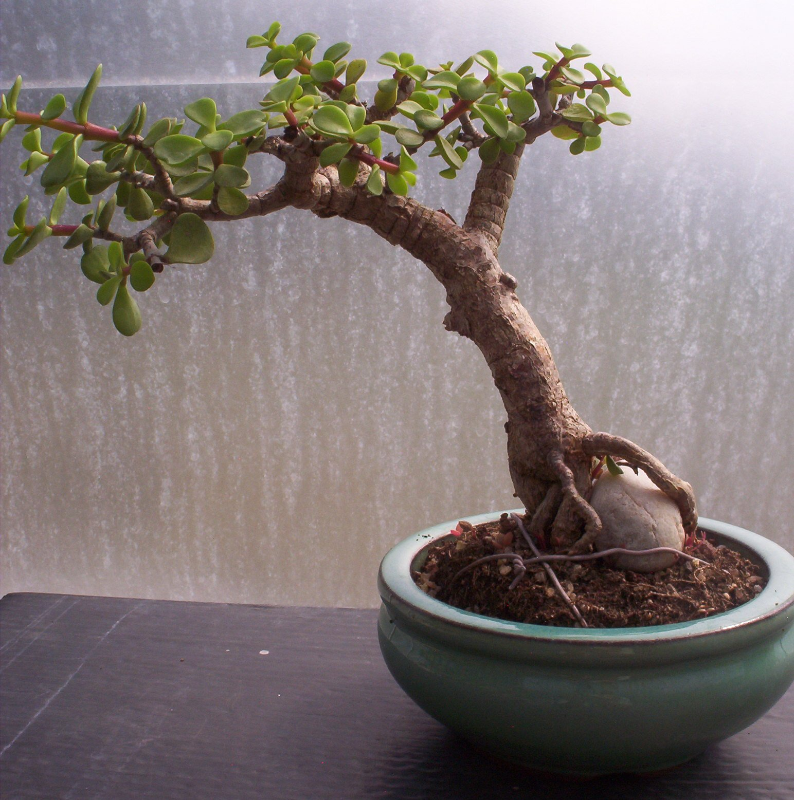 Bonsai Beginnings 2995