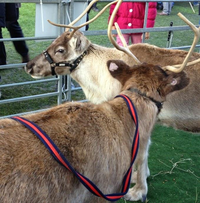 Reindeer at Rochester Christmas Market