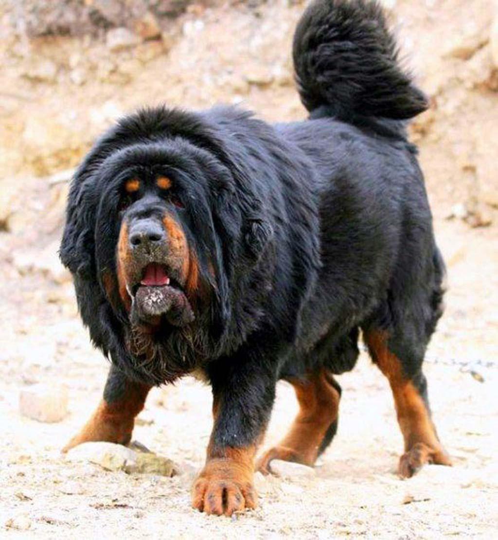 belgian mastiff 8 belgian mastiff 8 dog breeds picture
