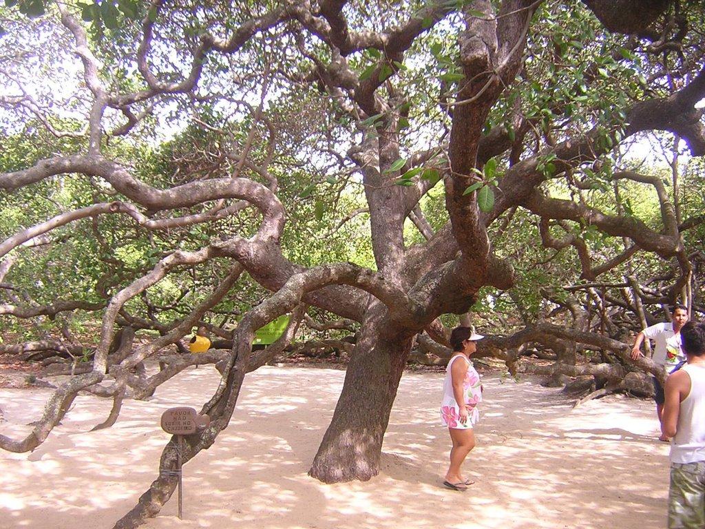 Μεγαλύτερο δέντρο κάσιους του κόσμου