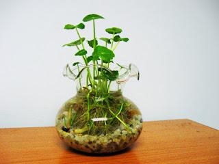 Các loại cây phong thủy trong nhà - Cây rau má trong nước