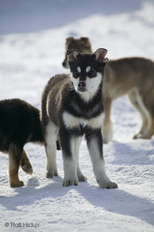 Husky Puppies on Huskies Breed Info   Siberian Husky Puppies   Husky Puppy Pictures
