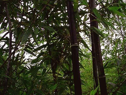 Bamboo Nurseries2