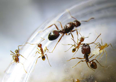 Queen, a major worker and minor workers of a brown Pheidole species