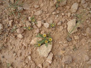 rose de jéricho fleurie
