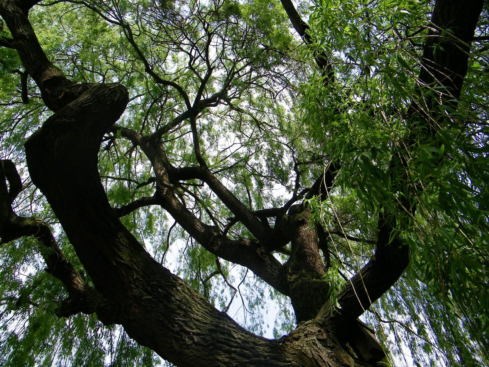 wierzba płacząca ogród botaniczny