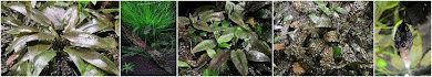 Cryptocoryne blog