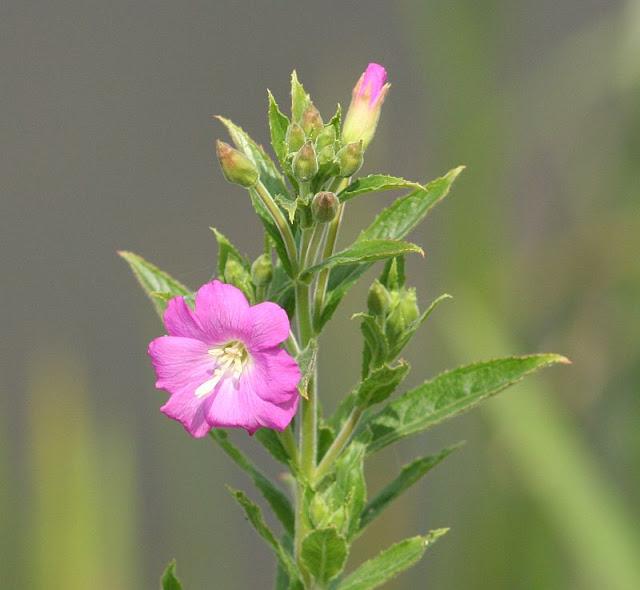 Blüte eines Rauhaarigen Weidenröschens