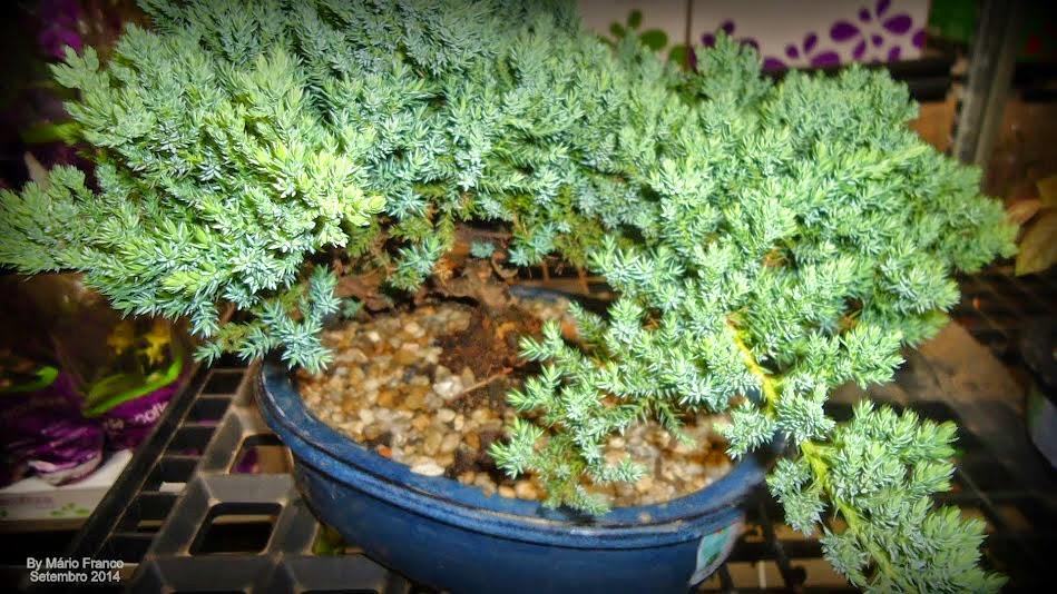 Como cuidar de bonsai plantas s cris meu cantinho verde - Plantas para bonsai ...