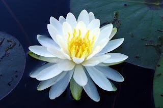 Nenufar blanco Fotos de flores blancas