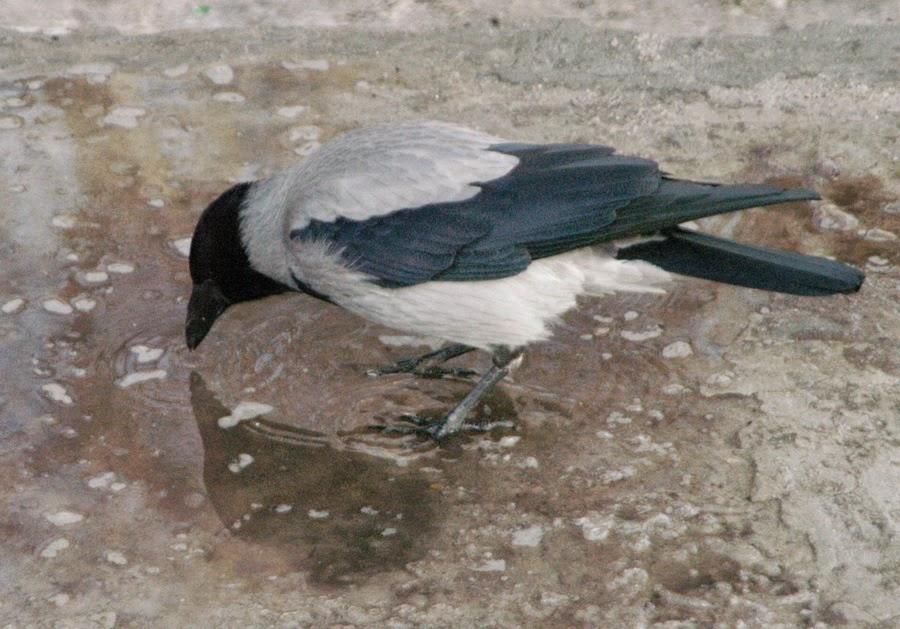 Фото Виталия Бабенко: серая ворона
