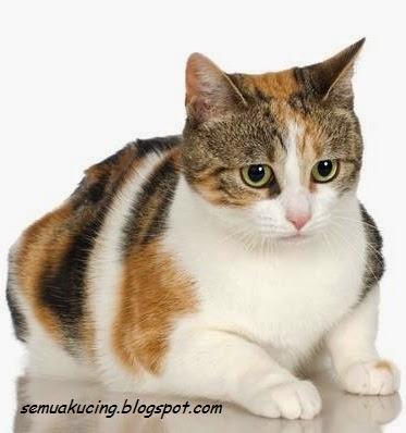Cara Mengatasi Dan Merawat Kucing Hamil