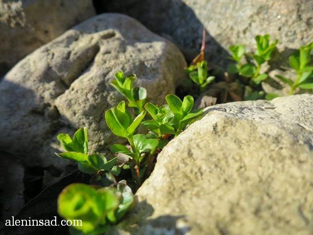 вербейник монетчатый, Lysimachia nummularia, камни, листья, почвопокровные, растения