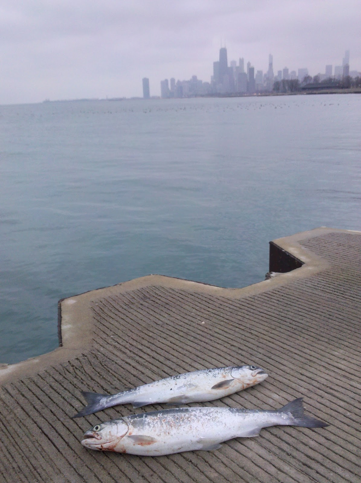 Great lakes angler a look back at the 2012 coho shore for Fishing in chicago